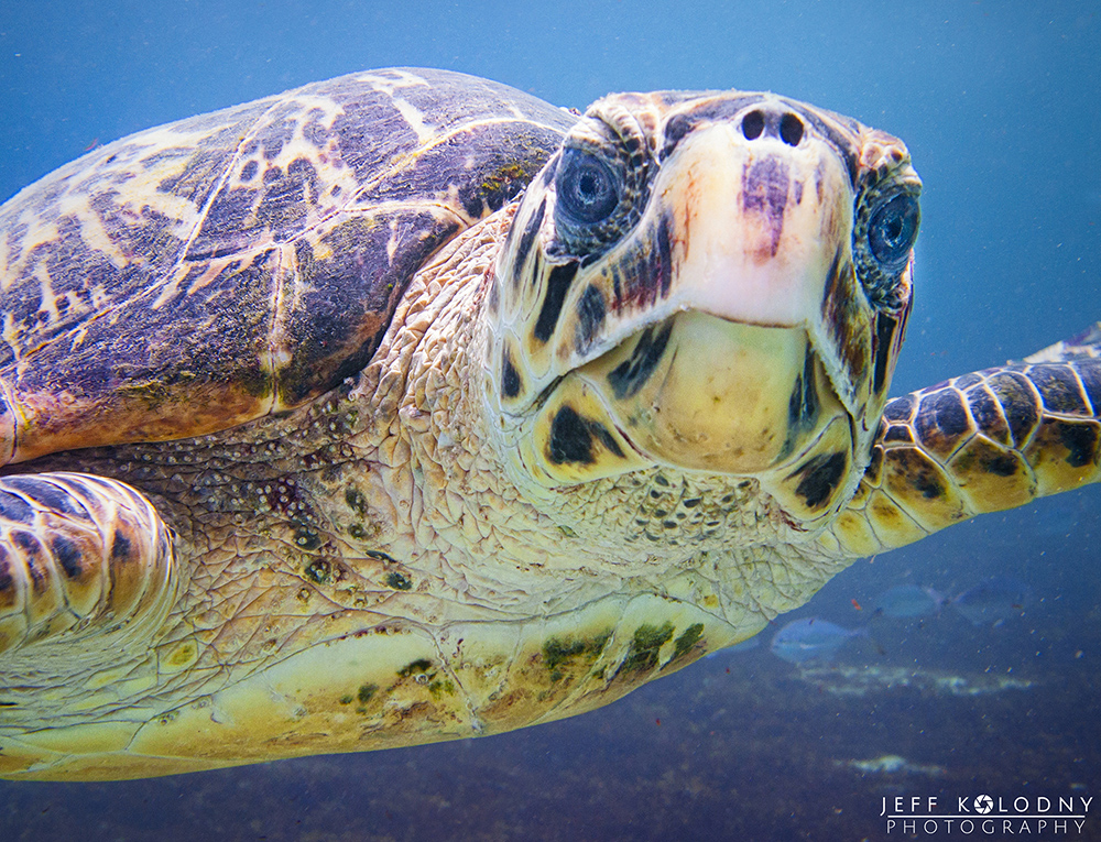 This turtle image taken in Barbados is to help teach people success with South Florida SEO
